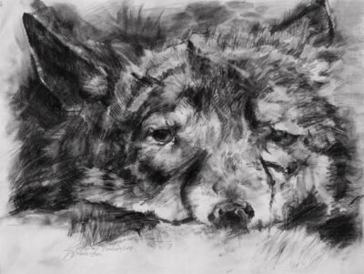 wolf pencil drawing wilk