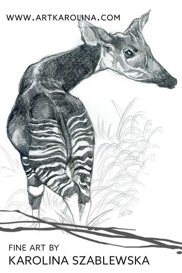 Okapi Pencil Drawing by Karolina Szablewska