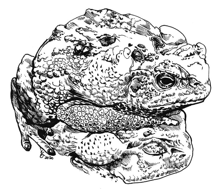 Toad on Toad ink drawing by karolina szablewska